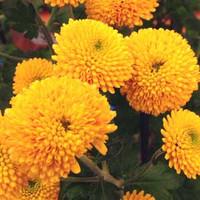 Asteraceae02
