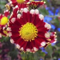 Asteraceae03
